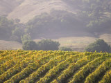 Vineyard in northern California, Sonoma, California, USA Photographic Print by Alan Klehr