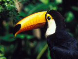 Toucan, Parque Des Aves, Foz Do Iguacu, Parana, Brazil Photographic Print by Julie Bendlin