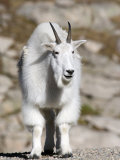 Mountain Goat, Mount Evans, Rocky Mountains, Colorado, USA Photographic Print by Diane Johnson