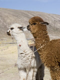 Alpacas Outside Local Home, Puno, Peru Photographie par Diane Johnson