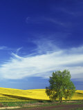 Cottonwood and Canola fields, Whitman County, Washington, USA Photographic Print by Charles Gurche