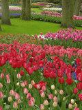 Tulip Garden, Keukenhof Gardens, Lisse, Netherlands, Holland Photographic Print by Adam Jones