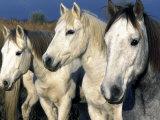 Camargue Horses, Ile Del La Camargue, France Photographic Print by Gavriel Jecan