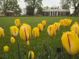 Tulips in Garden of Monticello, Virginia, USA Photographic Print by John & Lisa Merrill