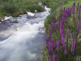 Mountain Stream, Ouray, San Juan Mountains, Rocky Mountains, Colorado, USA Photographic Print by Rolf Nussbaumer
