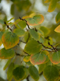 Aspen Leaves Turning Color, Vail, Colorado, USA Photographic Print by Cindy Miller Hopkins