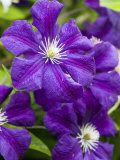 Purple Clematis in Full Bloom Photographic Print by Terry Eggers