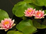 Pink and White Hardy Water Lilies, Kenilworth Aquatic Gardens, Washington DC, USA Photographic Print by Corey Hilz
