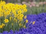 Daffodils and Grape Hyacinth, Keukenhof Gardens, Lisse, Netherlands Photographic Print by Adam Jones