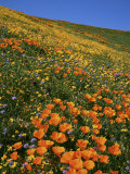 Goldfields and Globe Gilia, California Poppies, Tehachapi Mountains, California, USA Photographic Print by Charles Gurche