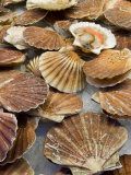 Display of Fresh Scallops, Venice, Italy Photographic Print by Wendy Kaveney