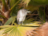 Juvenile Black-Crowned Night-Heron, Santee Lakes, San Diego, California, USA Photographic Print by Diane Johnson