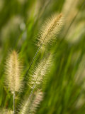 Ornamental Grass Heads, Arlington, Virginia, USA Photographic Print by Corey Hilz