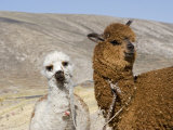 Alpacas Outside Local Home, Puno, Peru Photographic Print by Diane Johnson