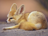 Fennec, North Africa Photographic Print by Adam Jones