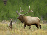 Bull Elk with Calf, Yellowstone National Park, Wyoming, USA Photographic Print by Rolf Nussbaumer