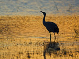 Sandhill Crane drinking in pond, Bosque del Apache National Wildlife Refuge, Socorro, New Mexico Photographic Print by Larry Ditto