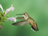 Rufous Hummingbird Feeding on Mexican Oregano, Paradise, Arizona, USA Photographic Print by Rolf Nussbaumer