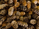 Pile of Female Pine Cones. Photographic Print by Don Paulson