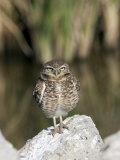 Burrowing Owl, Salton Sea Area, Imperial County, California, USA Photographic Print by Diane Johnson