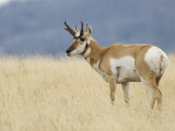 Pronghorn Standing in Grass, Yellowstone National Park, Wyoming, USA Photographic Print by Rolf Nussbaumer