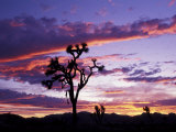Joshua Tree at Sunset, California, USA Photographic Print by Gavriel Jecan