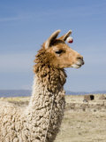 Llama Posing near Puno, Peru Photographic Print by Diane Johnson