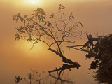 Buttonbush at dawn, Lake of the Ozarks, Missouri, USA Photographic Print by Charles Gurche