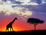 Giraffe silhouetted at sunrise, Masai Mara Game Reserve, Kenya Photographic Print by Adam Jones