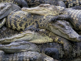 Crocodiles, Thailand Photographic Print by Gavriel Jecan