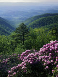 Blue Ridge Mountains Catawba Rhododendron, Blue Ridge Parkway, Virginia, USA Photographic Print by Charles Gurche