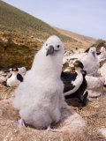 Black-Browed Albatross, New Island, Falkland Islands Photographic Print by Steve Kazlowski