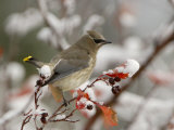 Adult Cedar Waxwing, Grand Teton National Park, Wyoming, USA Photographic Print by Rolf Nussbaumer
