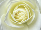 Close up details of white rose Photographic Print by Adam Jones