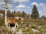 Wild Pony in Grayson Highlands State Park, Virginia, USA Photographic Print by Diane Johnson