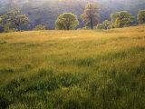 Springtime Oaks, Sacramento County, California, USA Photographic Print by Charles Gurche
