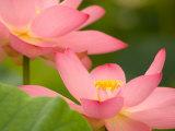 Two Pink Lotus Blossoms, Kenilworth Aquatic Gardens, Washington DC, USA Photographic Print by Corey Hilz