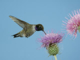 Hummingbird Feeding on Thistle, Paradise, Chiricahua Mountains, Arizona, USA Photographic Print by Rolf Nussbaumer