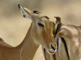 Female Impala with Red-billed Oxpecker, Samburu Game Reserve, Kenya Photographic Print by Adam Jones