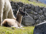 Newborn Llama Resting on Main Plaza, Machu Picchu, Peru Photographic Print by Diane Johnson