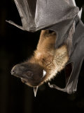 Giant Fruit Bat Photographic Print by Joe McDonald