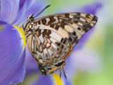 Savannah Charaxes Butterfly on Iris Flower Lámina fotográfica por Gulin, Darrell