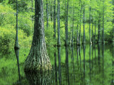 Bald Cypress, Apalachicola National Forest, Florida, USA Photographic Print by Charles Gurche