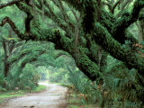 Live Oak and Ferns, Cumberland Island, Georgia, USA Photographic Print by Marilyn Parver