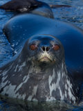Weddell Seal, Western Antarctic Peninsula, Antarctica Photographic Print by Steve Kazlowski