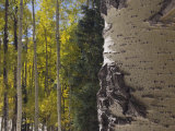 Aspen Trees in Fall, Uncompahgre National Forest, Colorado, USA Photographic Print by Rolf Nussbaumer