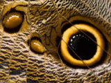 Pattern on Wing of Owl Butterfly, Brookside Gardens, Wheaton, Maryland, USA Photographic Print by Corey Hilz