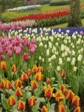 Tulip and Hyacinth Garden, Keukenhof Gardens, Lisse, Netherlands, Holland Photographic Print by Adam Jones