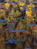 American Lotus in Autumn, Lake of the Ozarks, Missouri, USA Photographic Print by Charles Gurche