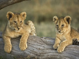 Lion Cubs on Log, Masai Mara, Kenya Photographic Print by Adam Jones